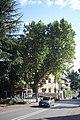 Merano platano occidentale vicino Via Roma 11.jpg
