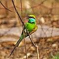 Merops orientalis, green Bee-eater 2.jpg