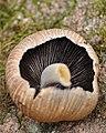 Mica Cap (Coprinellus micaceus) - Gatineau Park 01.jpg