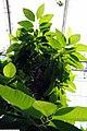 Michelia champaca 14zz.jpg