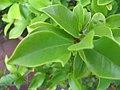 Michelia figo 1zz.jpg