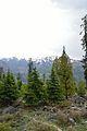 Mixed Trees - Solang Valley - Kullu 2014-05-10 2592.JPG