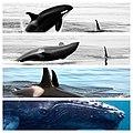 Mixed metaphor. 3 orcas and a humpback. (14244997659).jpg