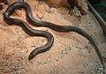 Mole snake.JPG