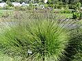 Molinia caerulea - Botanical Garden in Kaisaniemi, Helsinki - DSC03557.JPG
