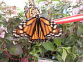 Monarch-Butterfly-Pair-On-Nectar-Feeding-Tube-9.JPG