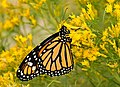 Monarch on Seedskadee National Wildlife Refuge (28994100466).jpg