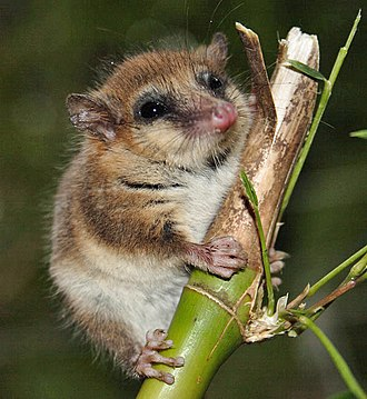 Great American Interchange - The monito del monte, Dromiciops gliroides, South America's only australidelphian marsupial