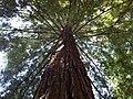 Moon Tree Sacramento California - panoramio.jpg