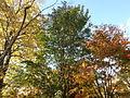 Morris Arboretum Acer davidii.JPG
