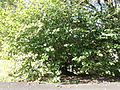 Morris Arboretum Corylopsis spicata.JPG