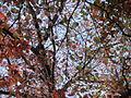 Morris Arboretum Nyssa sylvatica.JPG