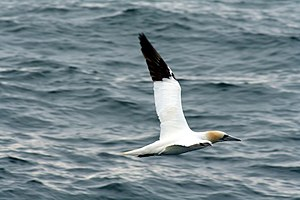 Northern gannet - Northern gannet flying over the English Channel, in the 7 Islands Nature Reserve, northern France