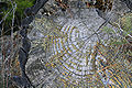 Moss in growth rings.jpg