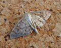 Mother of Pearl. Pleuroptia ruralis. Pyralidae - Flickr - gailhampshire.jpg