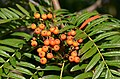 Mountain-Ash Farnblättrige Eberesche Sorbus scalaris 14.jpg