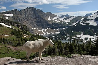 Glacier National Park (U.S.) - Mountain goat, official park symbol, above Hidden Lake