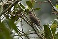 Mountain Robin - Panama H8O2308 (16612450524).jpg