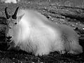Mountain goat (11003649415).jpg