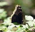 Mourning Cloak - Nymphalis anitopa antiopa. - Flickr - gailhampshire.jpg