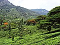 Munnar Tea Plantations, Awesome - panoramio (1).jpg