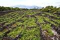 Museu do Vinho do Pico, curraletas de vinha 2 Lagido da Madalena, Concelho da Madalena, ilha do Pico, Açores, Portugal.JPG
