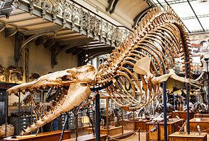 Cynthiacetus - Skeleton at the MNHN, Paris