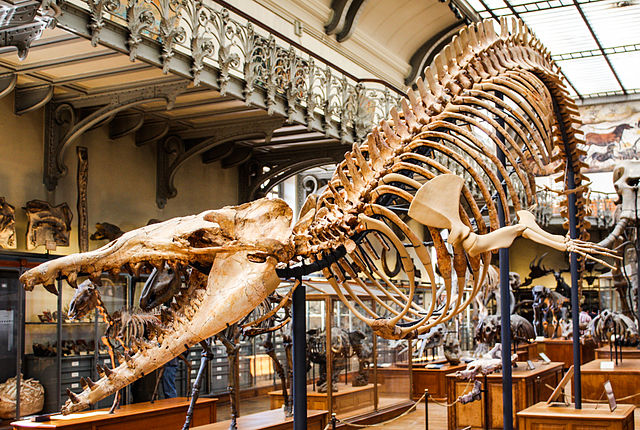 [Image: 640px-Museum_of_Natural_History_Cynthiacetus.jpg]