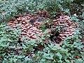 Mushrooms on a log - panoramio.jpg
