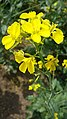 Mustard flowers .jpg