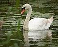 Mute swan (48582582706).jpg