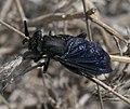 Mydidae P1090942a.jpg