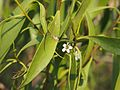 Myoporum montanum flowers and foliage.jpg