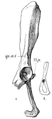 Broken pelvis bone with a distinct spike next to the acetabulum, labeled 1, and much smaller complete pelvis without such a spike, labeled 2.