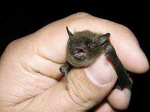 English: Indiana Bat (Myotis sodalis) being he...