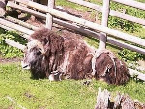 Järvzoo - A musk ox shedding its coat