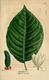 NAS-053 Magnolia acuminata.png