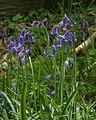 NSG Gillenbusch Hasenglöckchen (Hyacinthoides) 6 DE-NW.jpg