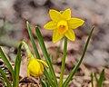 Narcis Tête à Tête (Narcissus). 07-03-2021 (actm.) 02.jpg