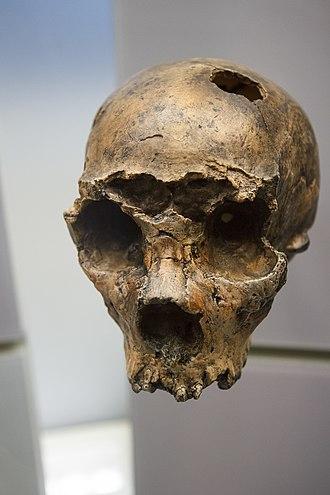 Saccopastore skulls - Cast of Saccopastore 1 skull at the National Museum of Natural History