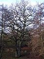 Naturdenkmal Eiche am Itzbach3.JPG