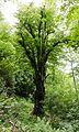 Naturdenkmal Rotbuche Cossebaude.jpg