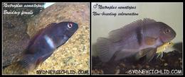Neetroplus nematopus.png