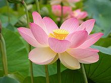 Fleur Lotus file:nelumno nucifera open flower - botanic garden adelaide2