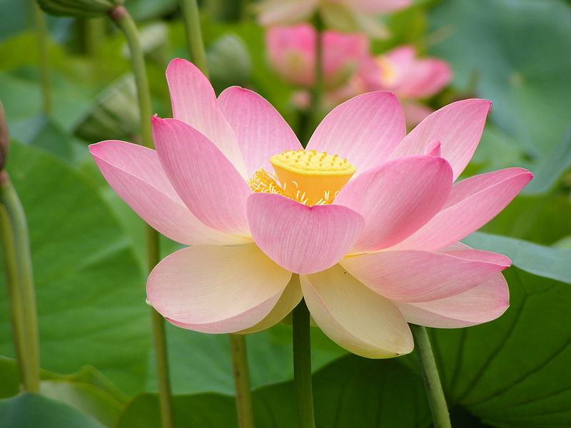 चित्र:Nelumno nucifera open flower - botanic garden adelaide.jpg