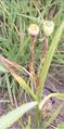 Nemastylis geminiflora fruit2.PNG