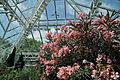 Nerium oleander-IMG 3381.jpg