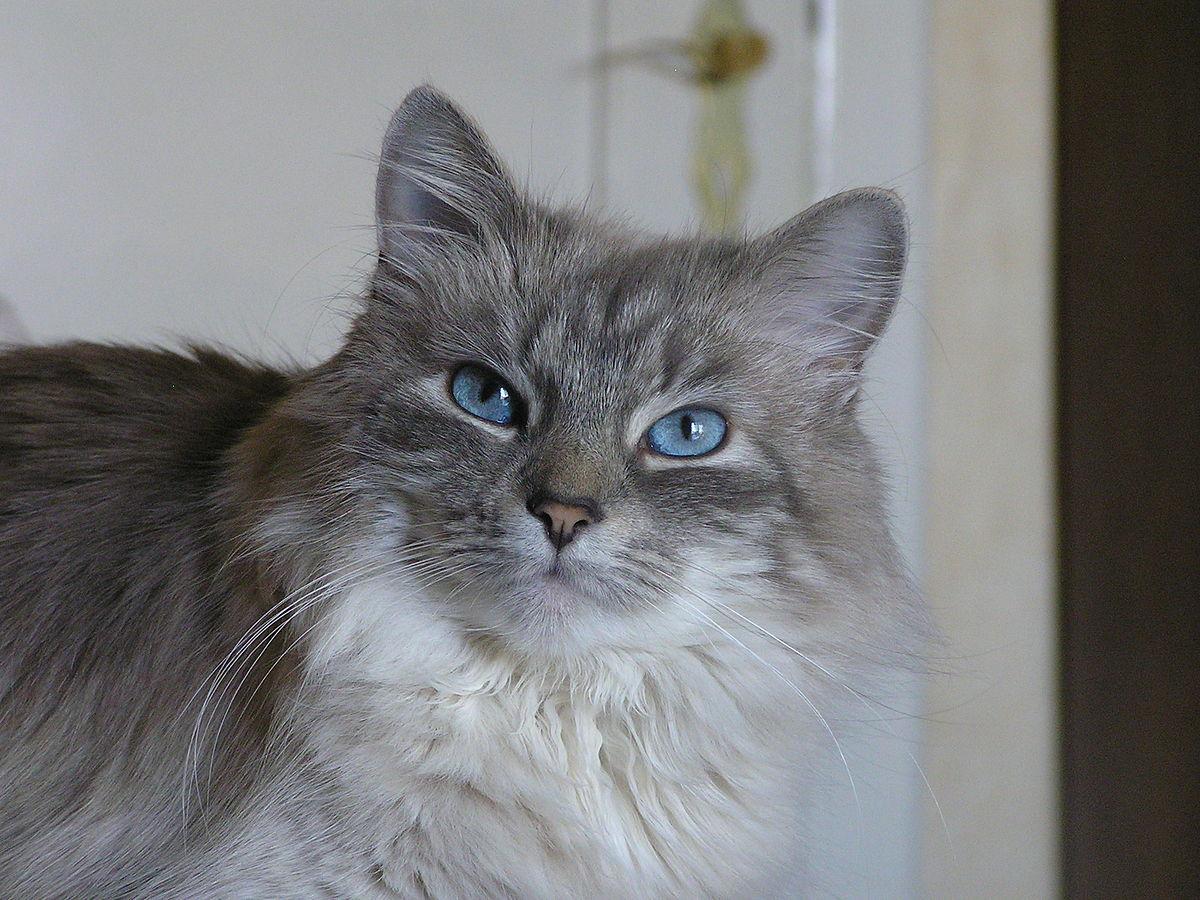 Neva cat blue tabby point.JPG