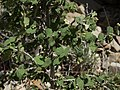 Nevada ninebark, Physocarpus alternans (31844490947).jpg