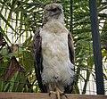 New Guinea Harpy Eagle. Harpyopsis novaeguineae (48670906153).jpg
